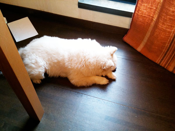 作業している足下で寝るシロ