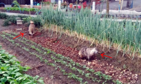 狸を2匹見た